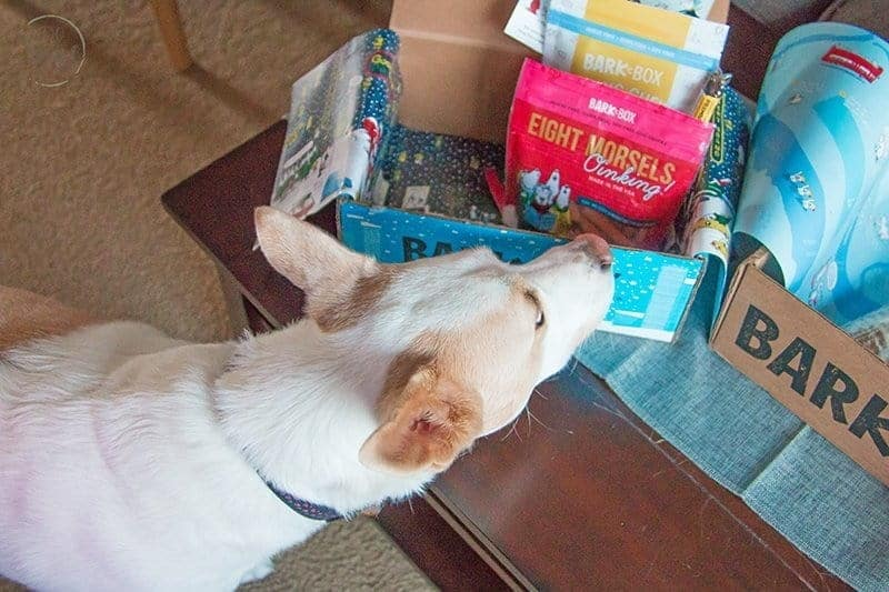 white dog sniffing a box of dog treats and toys