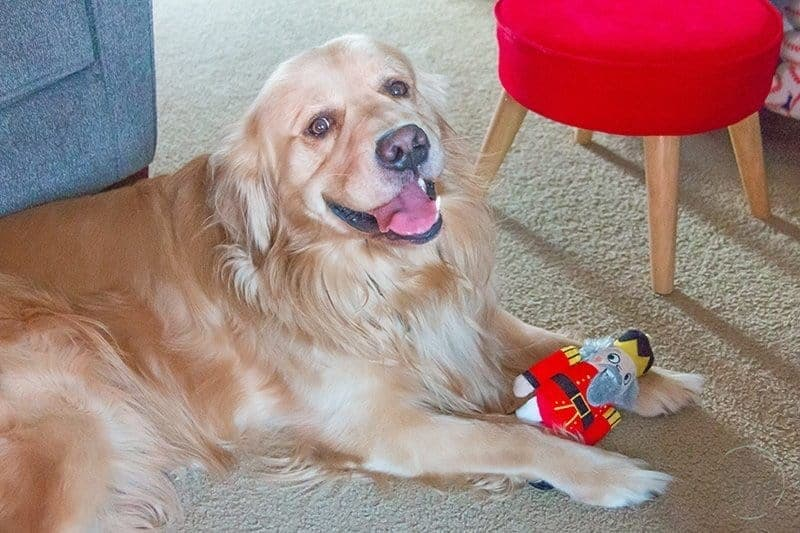 golden retriever with a toy between his feet